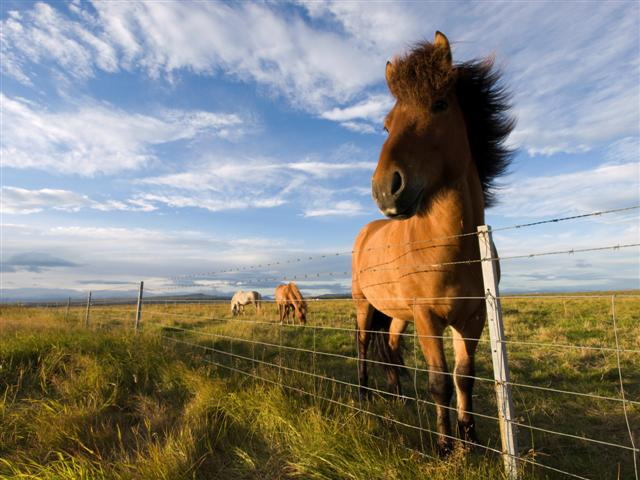 An Icelandic horse (Photo: GettyImages)
