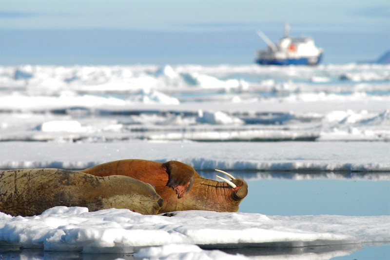 Walrus in the Arctic, on shrinking sea ice (Photo: Grida.no)
